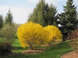 forsythia shrubs for sale