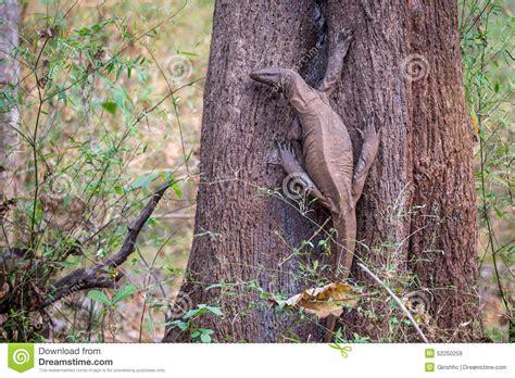 Floor Animals by Monitor Lizard In Habitat Stock Photo Image 52250259