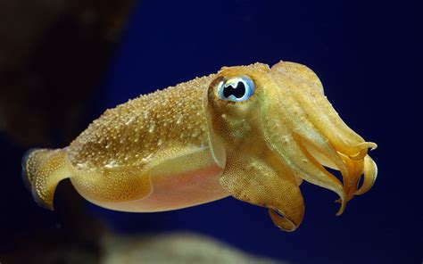 Cuttlefish camouflage: A new method for studying the ...