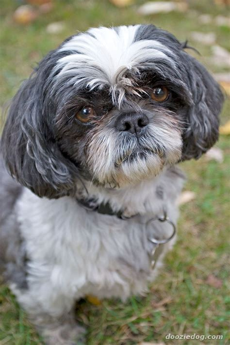 different types of shih tzu dogs black and white shih tzu dogs