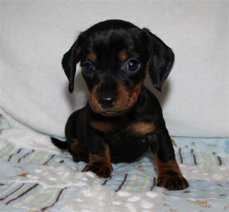 micro mini dachshund puppies for sale nc dachshund puppies nc breeds picture