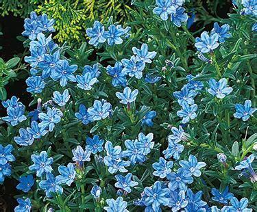lithodora common  botanical  zone usda