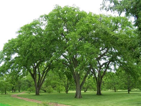 Vase Shaped Trees by Tree In A Box American Elm
