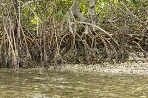 the roots wikipedia file mangrove plant roots provides an island in the water