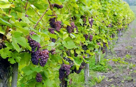 how to grow grapes in your backyard growing grapes in your backyard how to select a grape