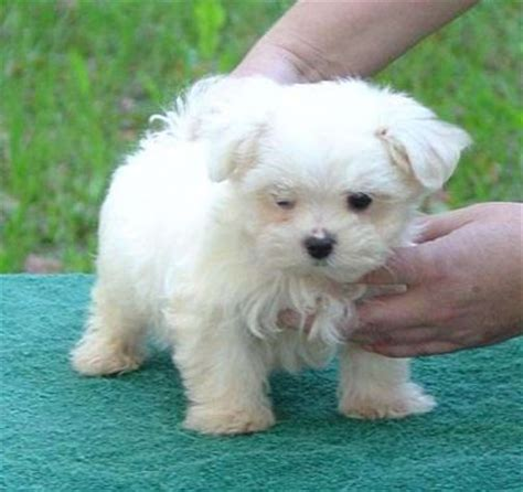 adopt a maltese puppy for free pets berkley co free classified ads