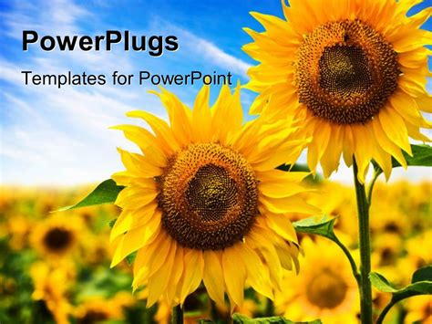 powerpoint template two beautiful sunflowers with others
