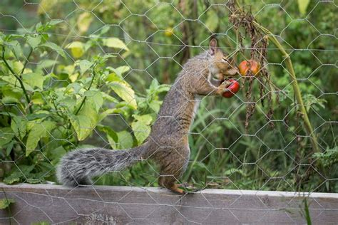 How Do I Keep Birds Patio by 7 Ways To Keep Squirrels From Your Tomatoes Mnn