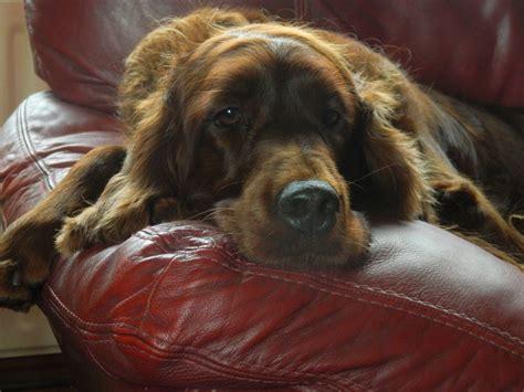 irish setter dog rescue uk stunning irish setter puppies available now kings lynn