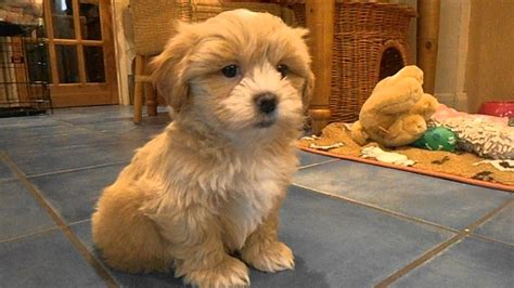 4 month shih tzu behavior shih tzu poodle mix named as shih poo described with puppies for sale