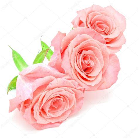 imagenes de rosas blancas y rosadas flores rosas rosadas foto de stock 169 panuruangjan 62771835