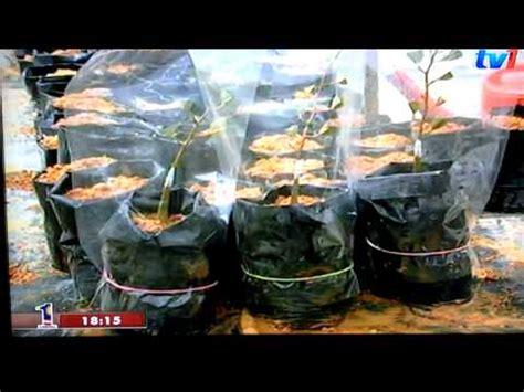 Bibit Durian Musang King Sambung Sisip cantuman baji pokok durian cikgu sp