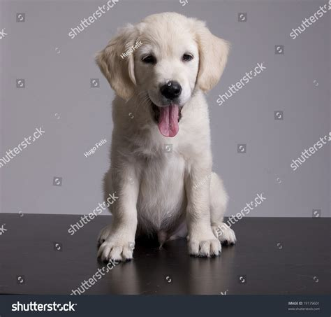 show me pictures of baby golden retrievers baby golden retriever portrait isolated stock photo 19179601