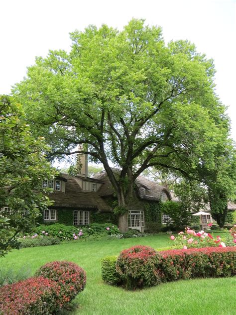 17 best images about american elm tree on pinterest