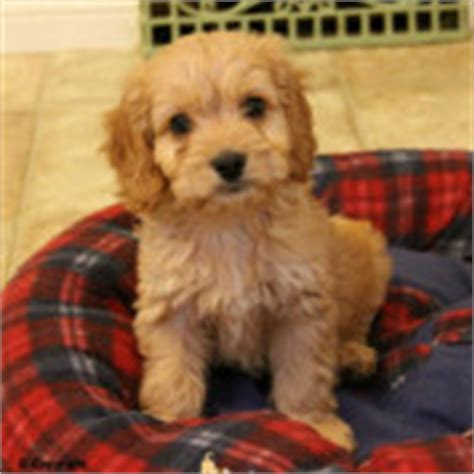 goldendoodle puppies for sale in ottawa alimentos para perros mini golden retriever puppies for