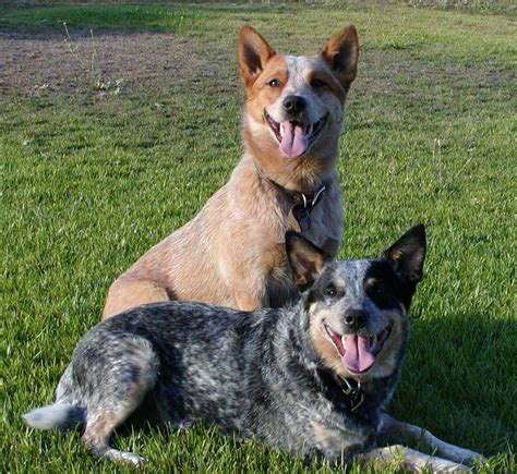 how to cattle dogs australian cattle sakc dogs wiki