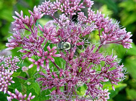 joe pye weed plant care and collection of varieties garden org