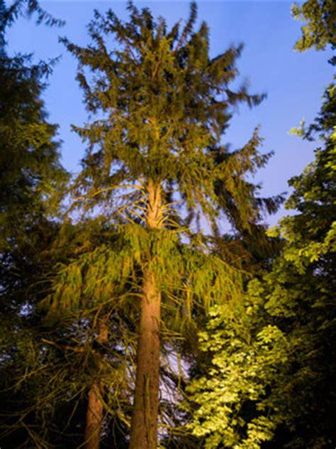 hopetoun house trees tree of the year 2016 hopetoun