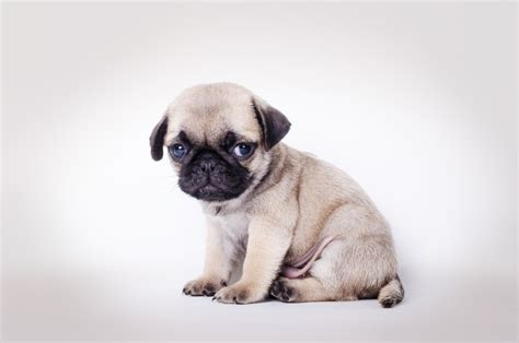 buying a pug before purchasing a designer read about these shocking and revealing findings