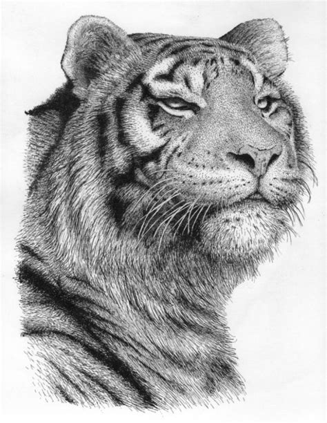 Tiger Pen Drawing By Rens Ink | absolutearts.com