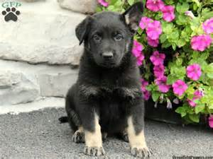 german shepherd puppies for sale in pennsylvania german shepherd husky mix puppies for sale in pa