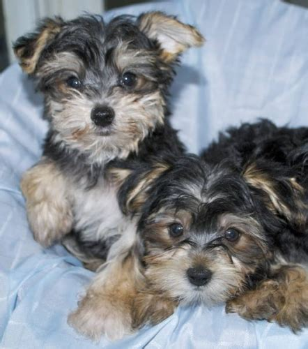 cheap morkie puppies for sale dogs that stay small morkie breeds picture