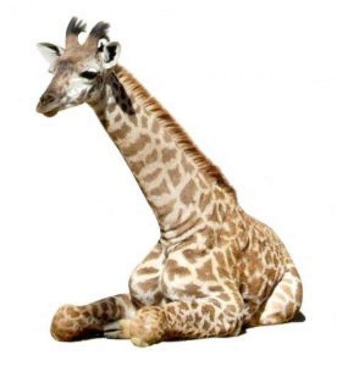imagenes de jirafas con mensajes girafe t 233 l 233 charger des photos gratuitement