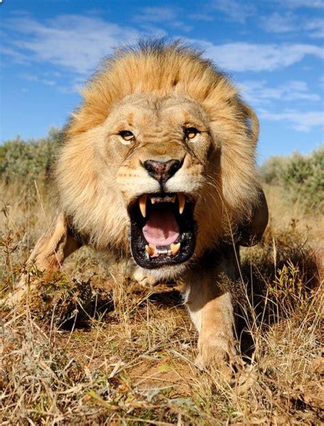 imagenes de leones feroces imagenes de leones mayo 2013
