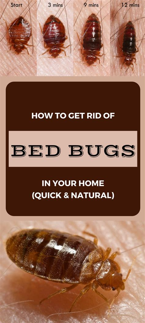 rid  bed bugs   home quick  natural ncleaningtipscom