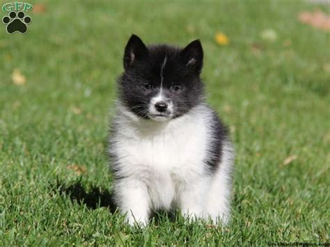 how big do pomsky puppies get 17 best images about pomsky puppies for sale on puppys husky and pomsky