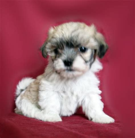 teddy puppies mn teddy puppies for sale in new richland minnesota breeds picture