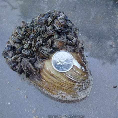 how to remove zebra mussels from a boat zebra mussels in manitoba fortwhyte alivefortwhyte alive