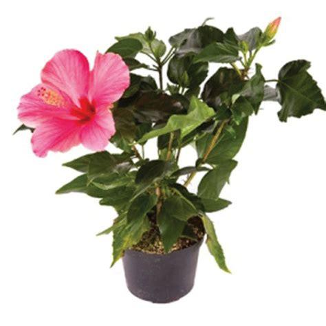 How To Grow Indoor Garden - hibiscus indoors hibiscus rosa sinensis pick ontario