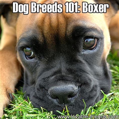 dogs 101 puppies breeds 101 boxer