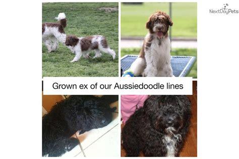 cheap goldendoodle puppies for sale meet parti boy black a goldendoodle puppy for sale for 1 050 parti mini