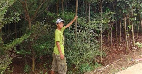 Bibit Pohon Ketapang Kencana taman minimalis jual pohon ketapang kencana bibit ketapang