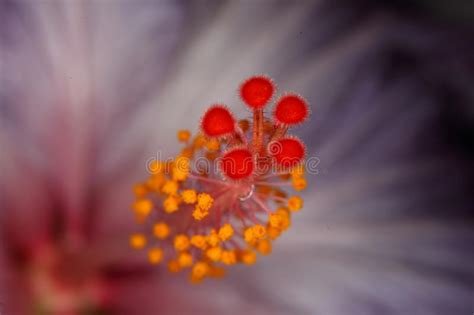 fiore pistillo pistillo fiore fotografia stock immagine di pistil