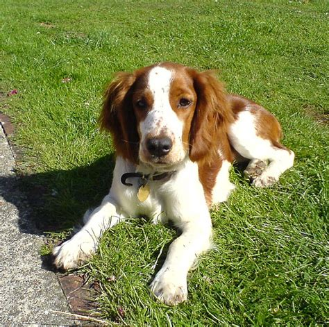 spaniel breeds springer spaniel breed breeds book breeds picture