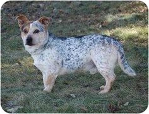 corgi puppies tucson lancashire heeler heelers are a unique mix of corgis and manchester terriers