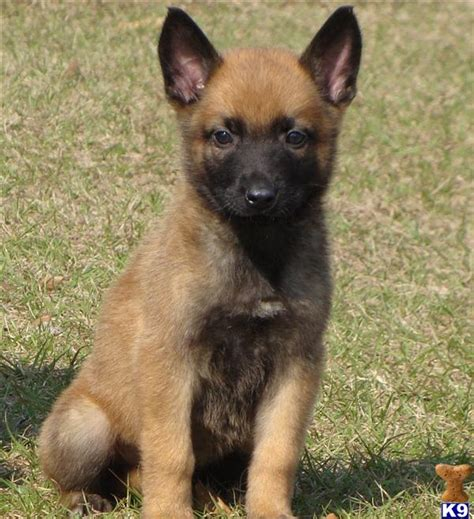 belgian malinois rescue puppies ready for adoption belgian shepherd malinois greyhound mixed breeds picture