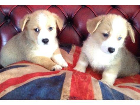 corgi puppies illinois beautiful pembrokeshire corgi puppies available animals beason illinois