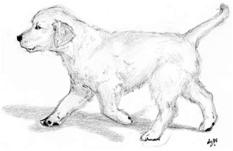 golden retriever sketch golden retriever step coloring pages