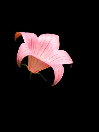 pink lily black free photos, photos, #1184311