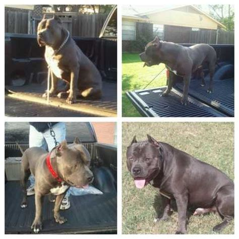 blue pitbull puppies for adoption blue pitbull puppies for sale adoption from dallas adpost classifieds