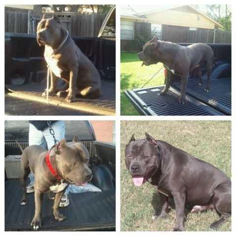 pitbull puppies for sale in dallas blue pitbull puppies for sale adoption from dallas adpost classifieds
