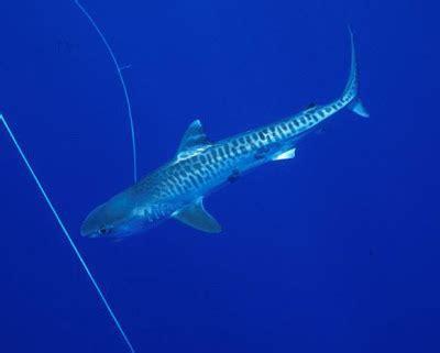 HD Animals: baby tiger sharks