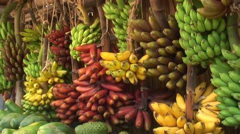Frame Daun Dan Pelepah Pisang 5r 8 fakta unik tentang pohon pisang satu jam