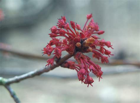 japanese maples ramblin through dave s garden page 2