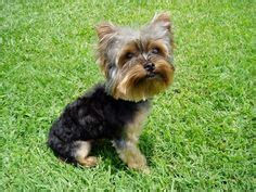 how to give a yorkie a puppy cut 1000 images about yorkies on yorkie yorkie puppy and haircuts