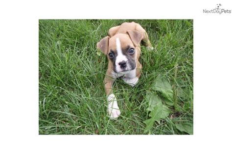 mini boxer puppies the gallery for gt miniature boxer puppies